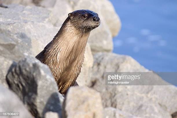 wild river otter in yellowstone np wyoming - river otter stock pictures, royalty-free photos & images