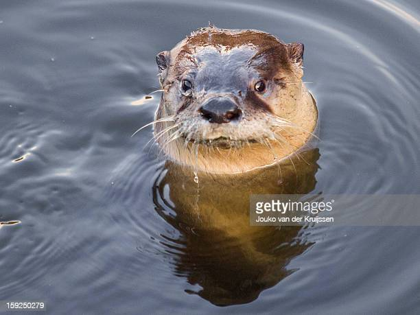 wild river otter - river otter stock pictures, royalty-free photos & images