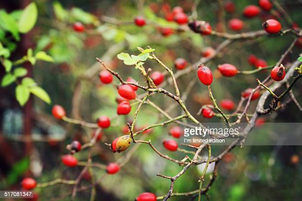 Wild rose hips on branches