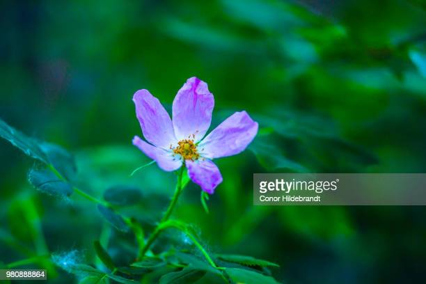 wild rose - conor stock pictures, royalty-free photos & images