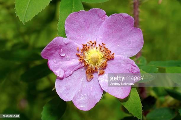 Wild rose -Rosa-, Baikal, Siberia, Russian Federation, Eurasia