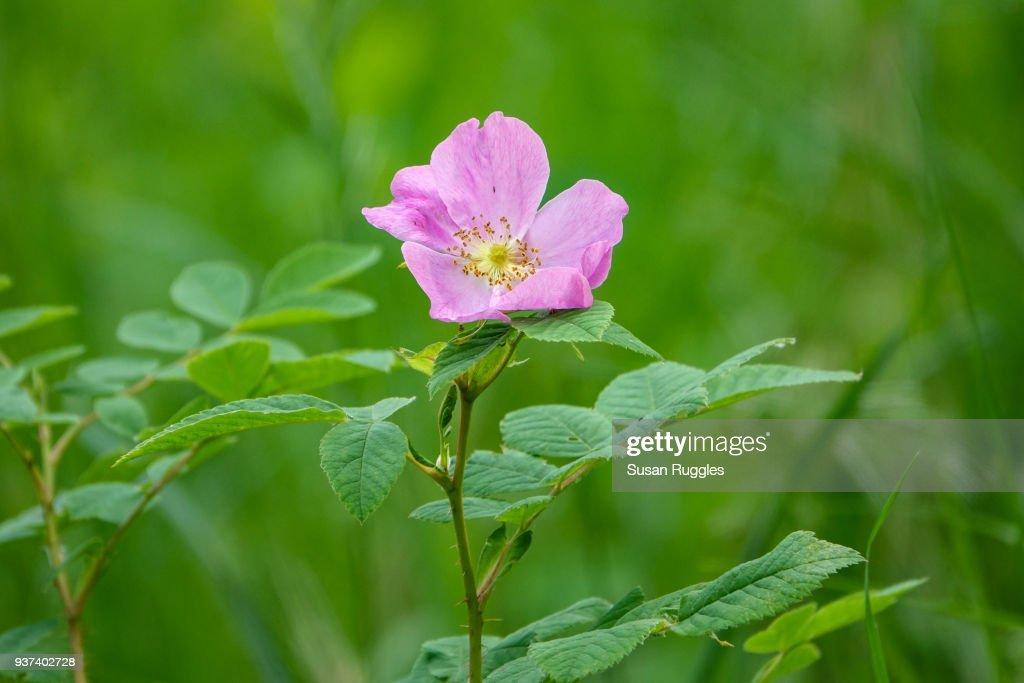 Wild Rose, Wildflowers, Jasper National Park : Stock Photo