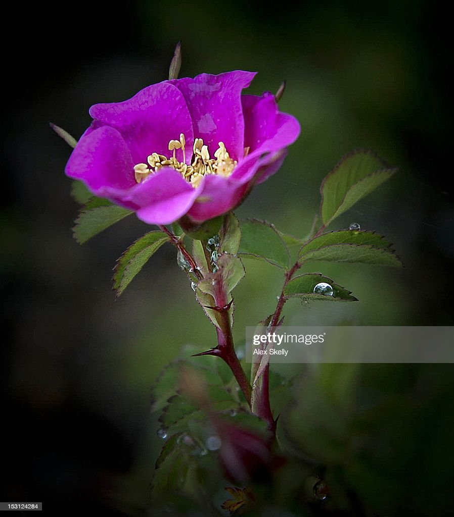 Wild rose with droplets : Stock Photo