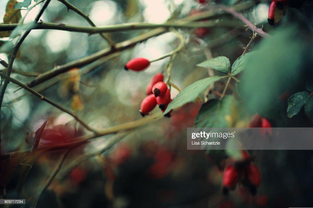 Wild rosehips : Stock Photo