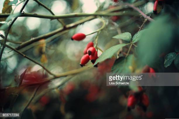 wild rosehips - herbst winter kollektion stock-fotos und bilder