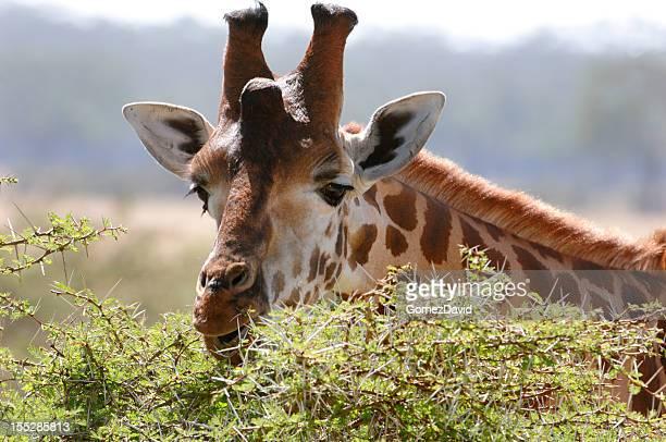 Wild Rothchilds Giraffe Eating