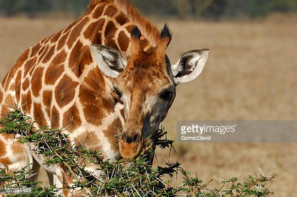 Wild Rothschild Giraffe Eating