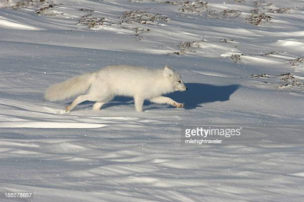 wild running arctic fox on snow covered tundra hudson bay - arctic fox stock pictures, royalty-free photos & images