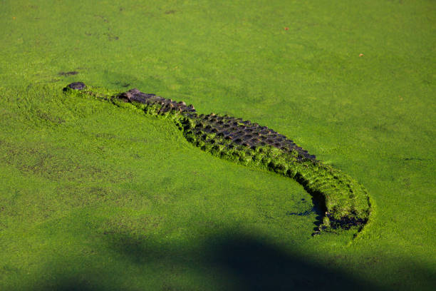 Wild, saltwater crocodile hunting in a swamp, Western Australia, Australia