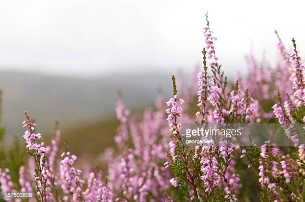 Wild Scottish Heather in the Highlands