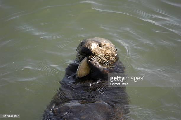 Wild Sea Otter Eating Shellfish