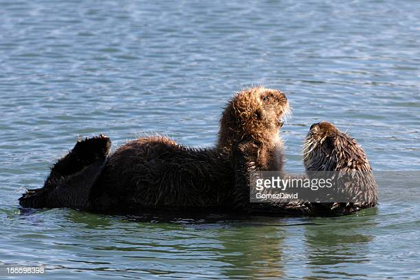 Wild Sea Otter Mother and Her Baby