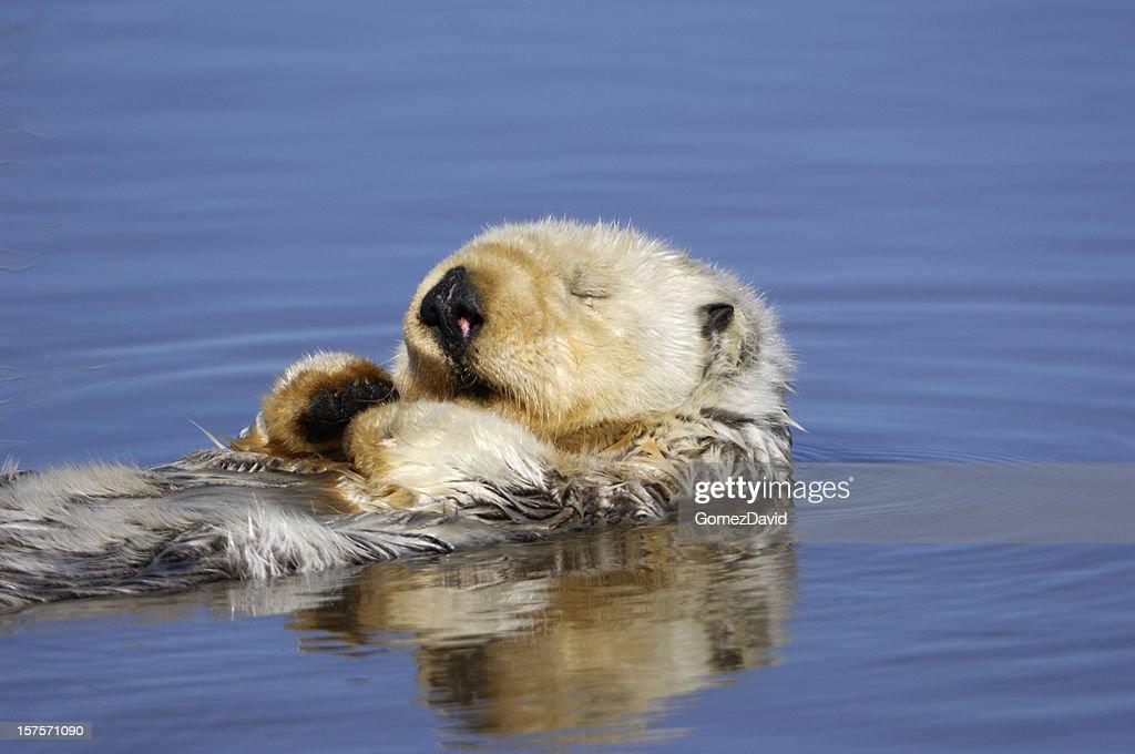 Wild Sea Otter Resting in Calm Ocean Water : Stock Photo