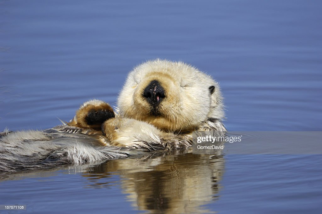 Wild Sea Otter Resting in Calm Ocean Water : Stock Photo