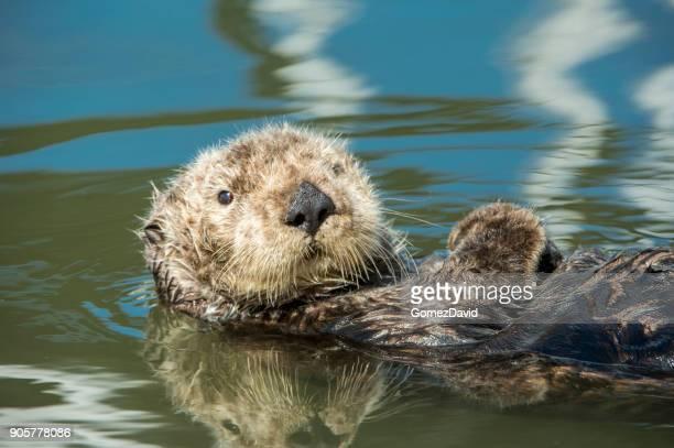 wild sea otter resting in calm ocean water - lontra imagens e fotografias de stock