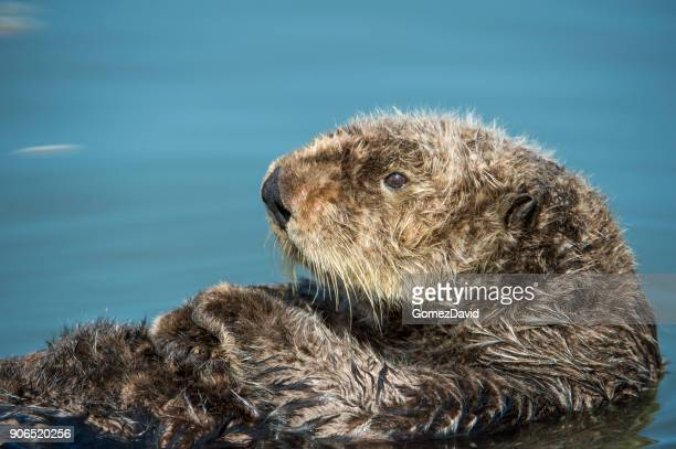 wild sea otter resting in calm ocean water - sea otter stock photos and pictures