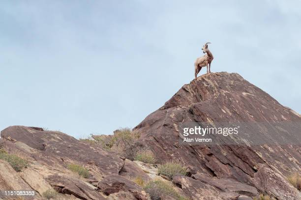 wild sheep in its element on the lookout - file:bighorn,_grand_canyon.jpg stock pictures, royalty-free photos & images