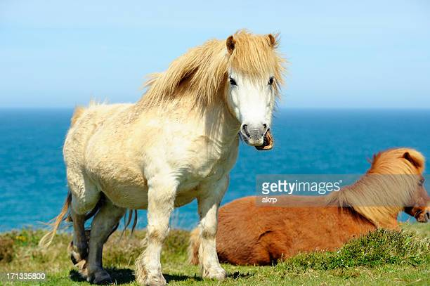 Wild Shetland Ponys