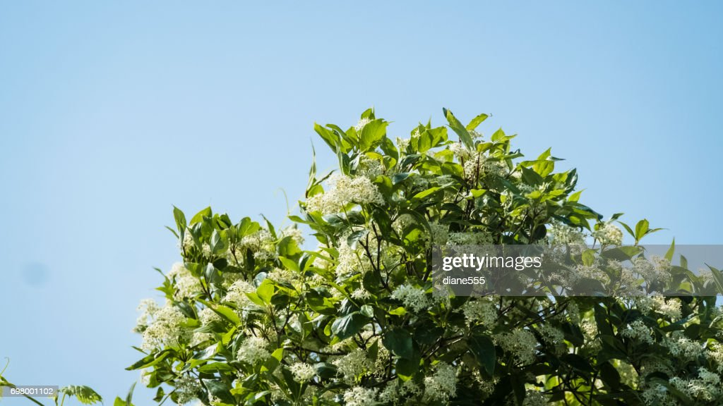Wild Shrub Blooming With White Flowers Stock Photo Getty Images