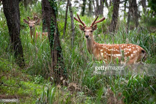 Wild sika deer are seen on Liugong Island on June 15, 2020 in Weihai, Shandong Province of China.
