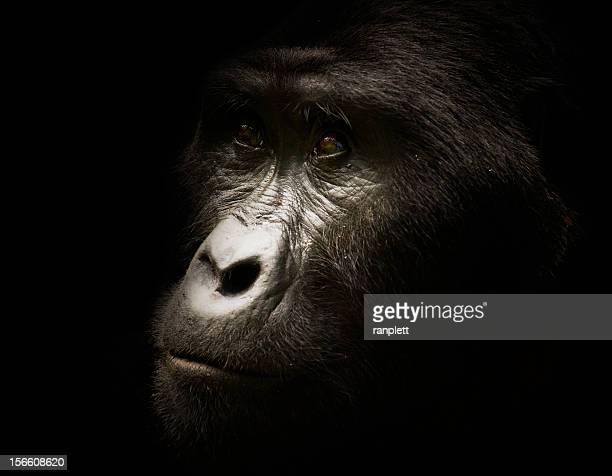 wild gorila lomo plateado retrato - gorila lomo plateado fotografías e imágenes de stock