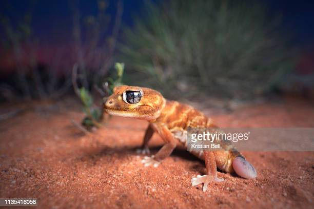 wild smooth knob-tailed gecko (nephrurus levis) with regenerated tail with spinifex and mallee background - new south wales stock pictures, royalty-free photos & images