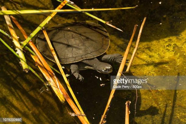 Wild Snake Neck Turtle