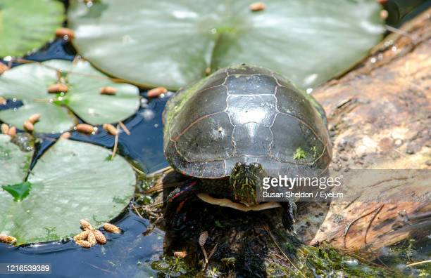 a wild snapping turtle seems happy in his green pond home - snapping turtle stock pictures, royalty-free photos & images