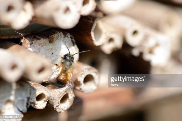 wild einsame bienen auf insektenhotel. - tierbauten stock-fotos und bilder