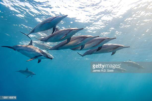 wild spinner dolphins - dauphin photos et images de collection