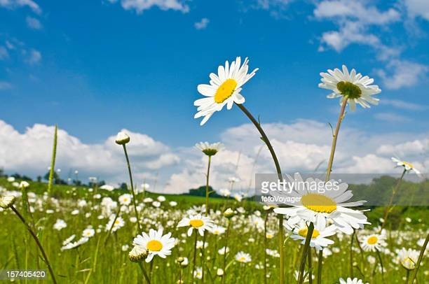 wild spring flowers green meadow - daisy stock photos and pictures