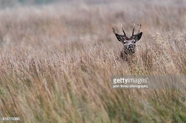 Wild stag in long grass with his head just visable. Taken with a shallow depth of field for smooth  bokeh in the long grass. English Peak District