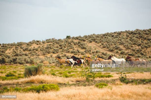 wild stampeding horses in the prairie - stampeding stock pictures, royalty-free photos & images