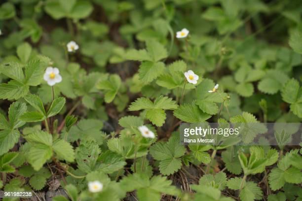 Wild strawberries plants