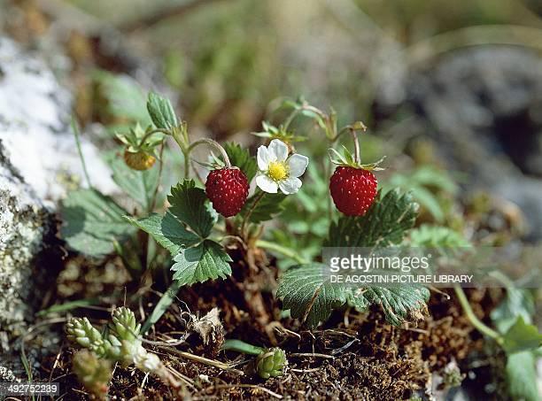 Wild Strawberries Rosaceae