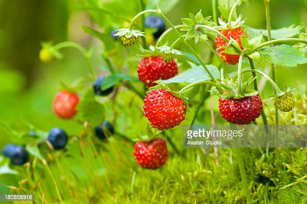 Wild strawberry and Blueberries