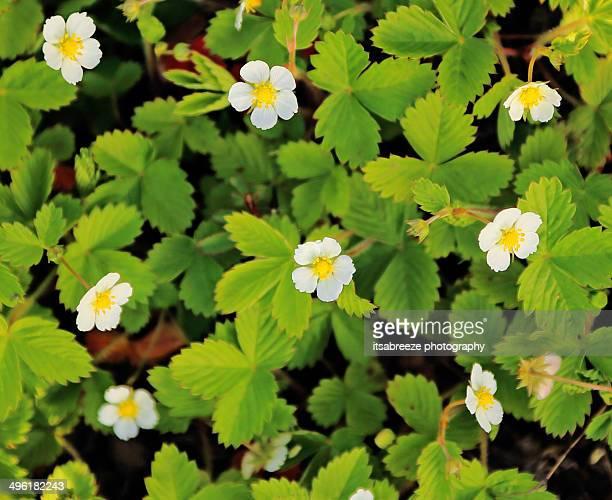 Wild strawberry plants in flower