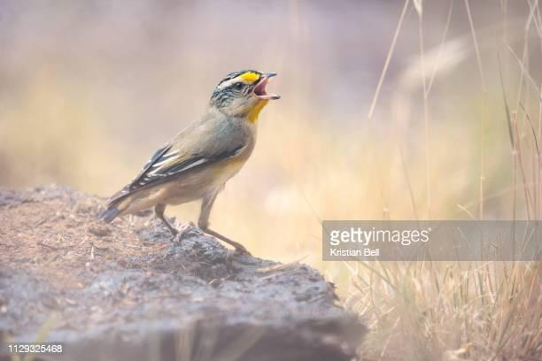 wild striated pardalote (pardalotus striatus) singing on a rock amongst grass in australia - beak stock pictures, royalty-free photos & images