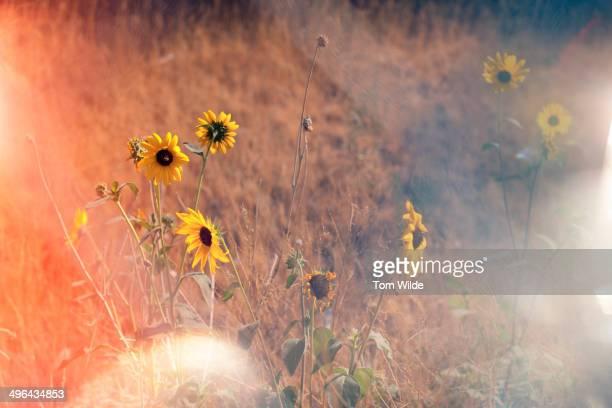 Wild sunflowers in a grassy field