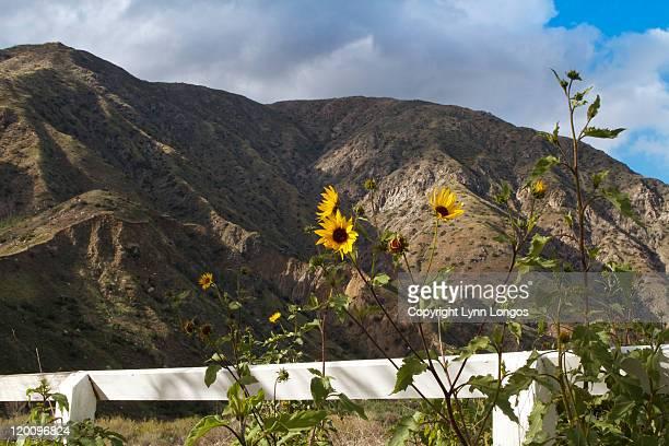 Wild sunflowers in San Gabriels