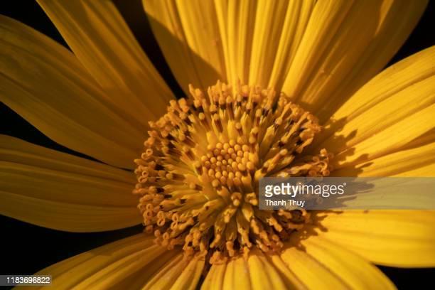 wild sunflowers on dark background - 花頭 ストックフォトと画像