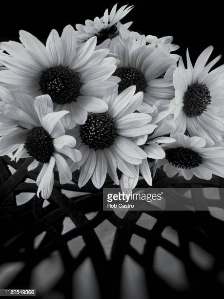 wild sunflowers - rob castro stock pictures, royalty-free photos & images