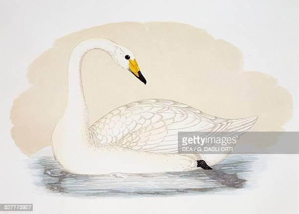 Wild Swan engraving United Kingdom 19th century
