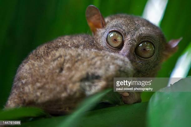 Wild tarsier in Bohol