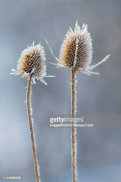 wild teasel (dipsacus fullonum), in winter with hoar frost, austria - botany stock pictures, royalty-free photos & images