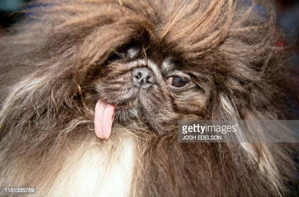 Wild Thang a 3year old Pekingese is shown before the start of the World's Ugliest Dog Competition in Petaluma California on June 21 2019