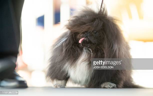 Wild Thang a 3year old Pekingese who went on to take second place walks the stage during the World's Ugliest Dog Competition in Petaluma California...