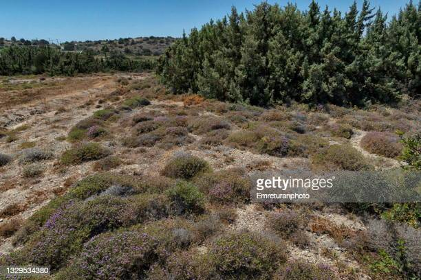 wild thyme and juniper trees at the background. - emreturanphoto stock pictures, royalty-free photos & images