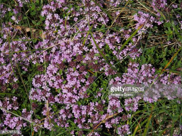 179 Creeping Thyme Photos And Premium High Res Pictures Getty Images