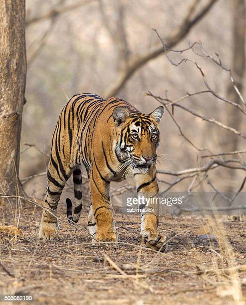 Wild Tiger in Ranthambore National Park, India